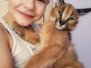 Serval and Savannah, caracal Registered kittens