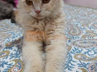 Persian Brown Female Cat