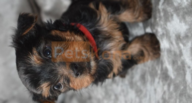 Beautiful Yorkshire Terrier Puppies