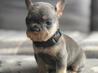 French Bulldog Adoption!!