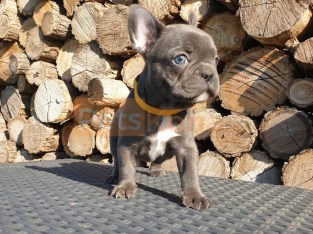 French bulldog puppies ready now for ever home.