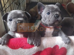 french bulldog puppies for homes in uk