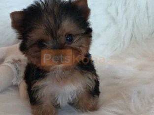 AKC Yorkshire Terrier Puppies.