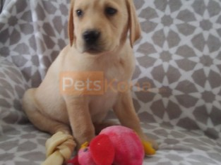 Sufficiently trained,Brilliant, adorable Labrador puppies