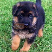 Well Trained German shepherd Puppies available