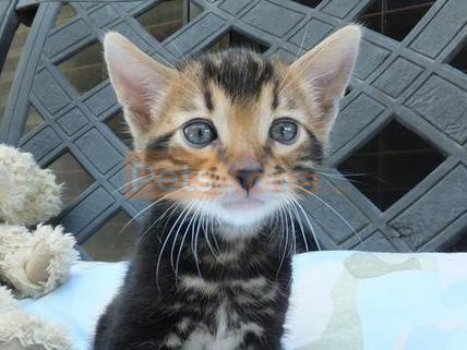 Tiger Register Bengal Kittens