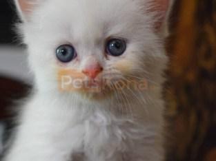 Prettiest kitten ever near you
