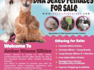 Bearded Bantam Silkies DNA Sexed Female Chicks for Sale