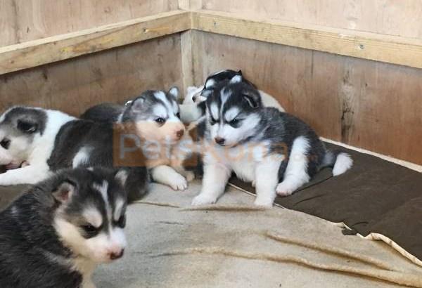 Blue Eyes Siberian Husky Puppies.