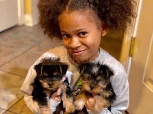 Free Teacup Yorkies for Adoption