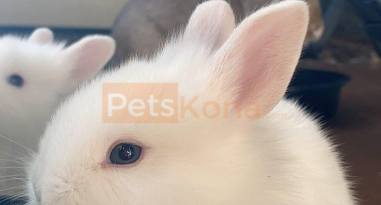 Baby lionhead mix bunny