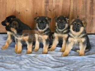 German Shepherd puppies ready to go