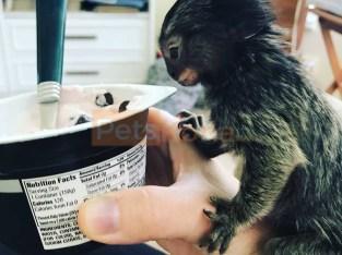 Hermosos monos titíes