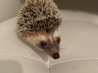 Baby Boy Hedgehog with Supplies
