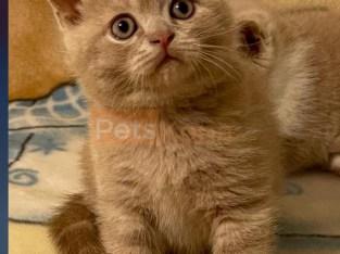 Pure Scottish straight male kitten for sale