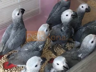 African grey parrots with fertile eggs