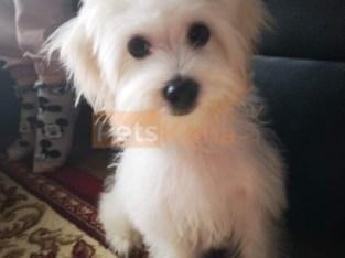 Stunning female maltese puppy