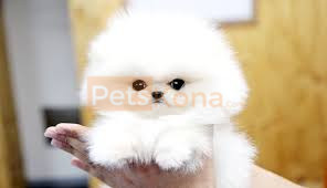Cutest Pomeranian Mix dog breeds