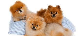 Cutest Pomeranian Mix dog breeds