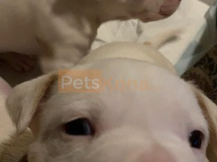 Mixed breed puppy pitbull for sale