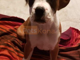 AKC BOXER PUPS FOR SALE