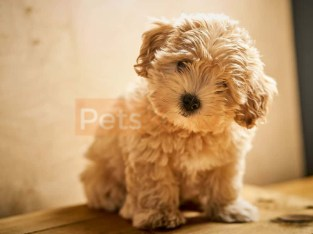 Miniature Maltipoo Puppies Available