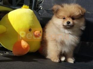 4 Pedigree Pomeranian Puppies