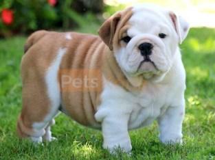 English Bulldog Pups Ready Now.