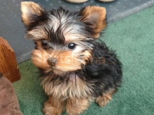 T Cup Yorkie Pups Ready.