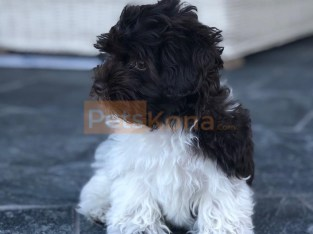 Male / Female Purebred Havanese Puppies ready for re-home