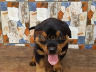 REHOMING ROTTWEILER PUPPIES
