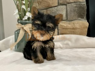 T Cup Yorkie Pups For Perfect Homes.