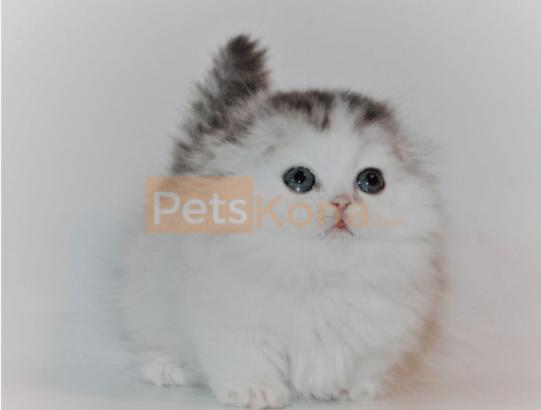 Munchkin kitten for Adoption