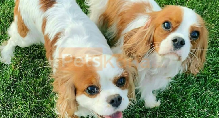 goldendoodle and cavapoo