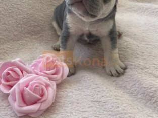 Amazing Lilac And Tan Litter French Bulldog puppies available.