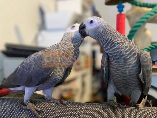 Tammed A Pair of Talking African Grey Parrots