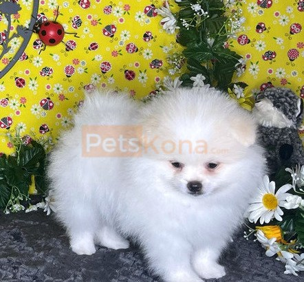 Pomeranian puppies for new home.