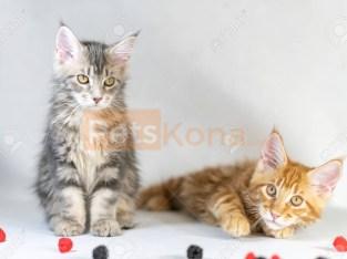 Maine Coon kittens at kitten4sales*****