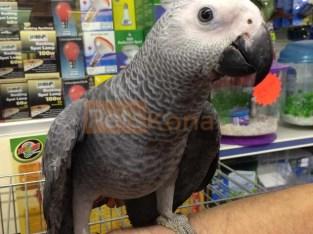 gray parrots