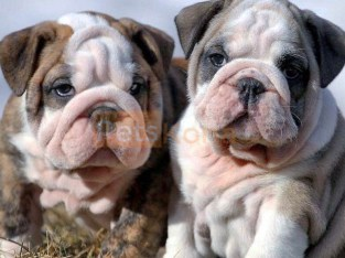 Charming and lovely English Bulldog puppies.