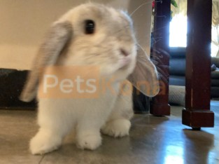 Holland Lop Rabbit for Sale