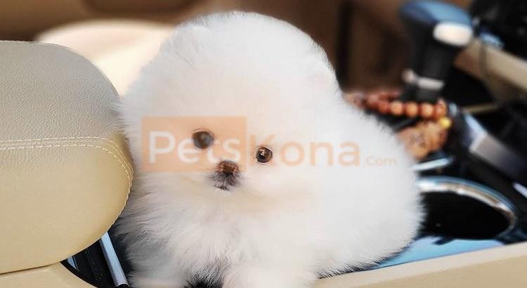 Cute teacup Pomeranian puppy male