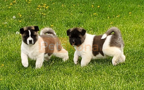"""Agapi Mou (Greek for """"my love"""") Kc registered/ champion bloodlines Akita Puppies For A Lovely Home."""