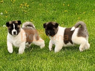 Schatz (German) Kc registered/ champion bloodlines Akita Puppies For A Lovely Home.