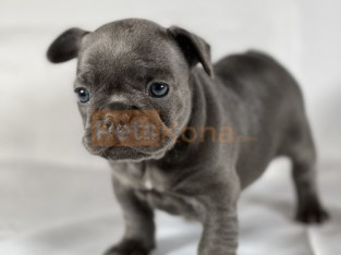 Gatinha (Brazilian Portuguese) Kc registered/ champion bloodlines French Bulldogs Puppies For A Lovely Home.