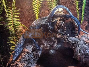 Male and female varanus macraie available for new home ….
