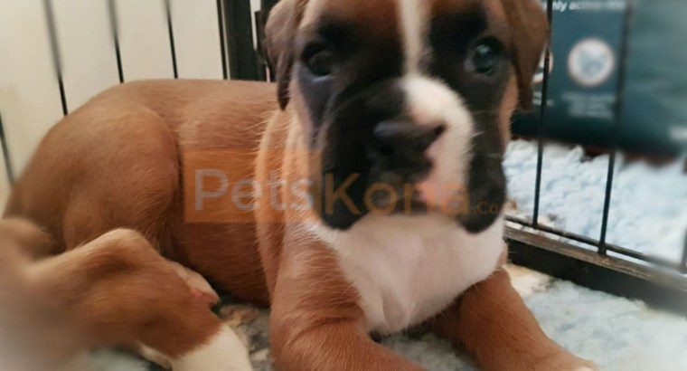 cute boxer puppies for rehoming