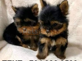 *Top Quality Female And Male YOR.K.IE Puppies (704) 386-3533.