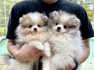 Adorable Pomeranian Puppies available for sale now .