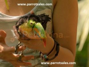 Toucans and Parrots for sale